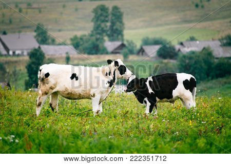 Calves nuzzle and study each other outdoors