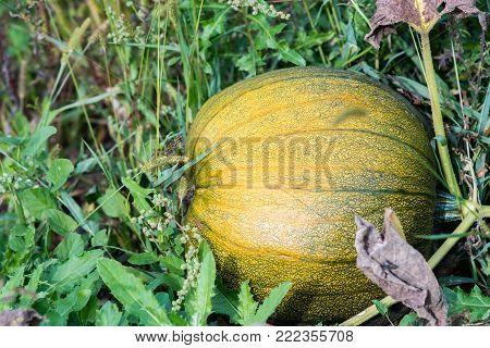 pumpkin cultivar grow on vine under the leaves in garden, Cucurbita pepo