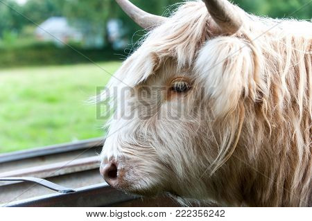 Closeup portrait of beautiful highland scottish hairy creamy cow. Profile view. Glasgow, Uk, Scotland. Colored outdoor summertime horizontal image.