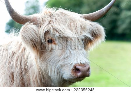 Closeup portrait of beautiful highland scottish hairy creamy cow. Glasgow, Uk, Scotland. Colored outdoor summertime horizontal image.