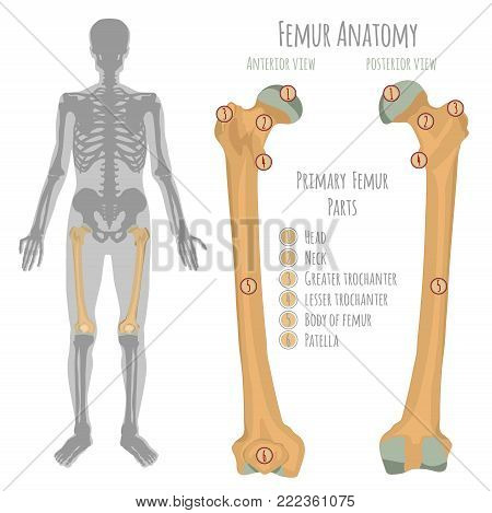 Male hip bone anatomy. Anterior view and posterior with primary bones names. Vector illustration with human skeleton scheme isolated on a white background.