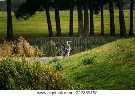 Grey Heron Bird Landing Or Taking Wing Or Spreading Its Wings On Green Grass Near River.