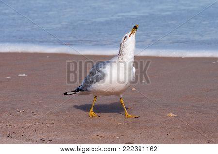 Ring billed gull on a sandy beach.