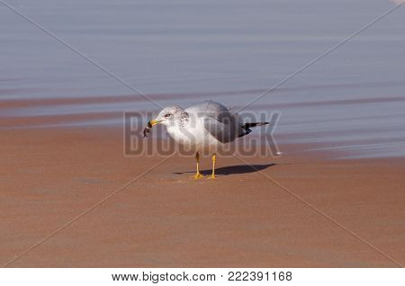 Ring billed gull on a sandy beach eating a fish.