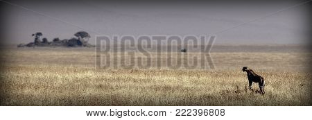 A cheetah observing on the height in the sabana
