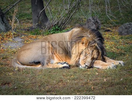 The drowsy lion at zoo. Lion in natural background. Safari animals.