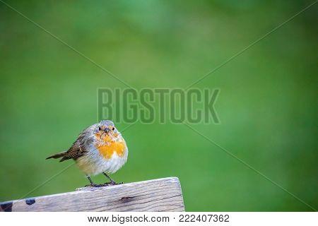 Yellow European Robin bird close up, wild bird in blurred light green background, bird migration season, colourful animal