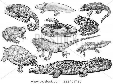 Amphibians and reptile collection illustration, drawing, engraving, ink, line art