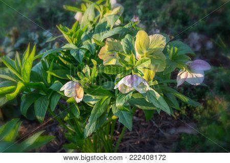 White hellebore Helleborus hybridus with purple spots in a garden.