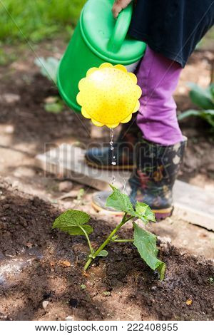 Watering Young Plant Cucumber. Little Girl Water Watering Can Cucumber In Garden.