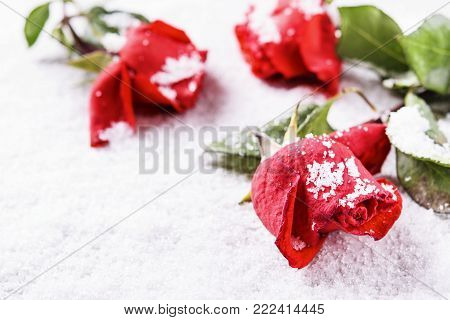 Winter background. Frozen red rose on snow with snowflakes on petals. Сold snap. Valentine day