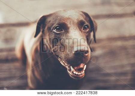 chocolate labrador retriever playing the bottle  with wooden blur background , focus only eye , color retro style