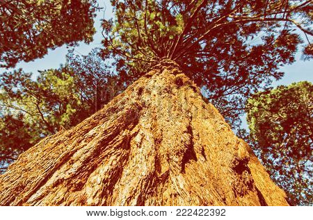 Sequoiadendron giganteum (Giant sequoia, Giant redwood, Sierra redwood, Sierran redwood, or Wellingtonia) is the sole living species in the genus Sequoiadendron. Sunset natural scene. Yellow photo filter.