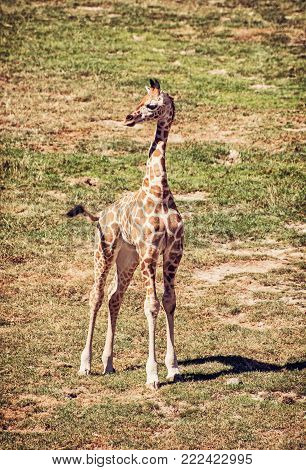 Cub of Rothschild's giraffe. Animal scene. Beauty in nature. Red photo filter.