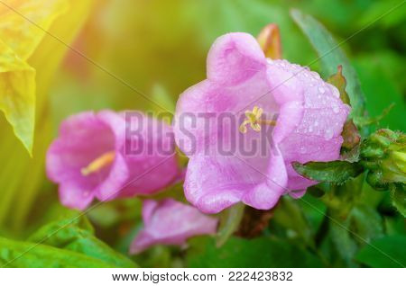 Bell flower medium in summer blossom, in Latin Campanula medium. Soft focus at the central bell flower. Summer flower background, summer bell flowers blooming in the summer garden. Summer flower landscape