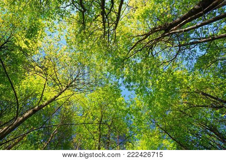 Spring Summer Sun Shining Through Canopy Of Tall Maple Trees. Summer Nature, Sunny Day. Upper Branches Of Tree With Fresh Green Foliage. Woods Background. Greenery