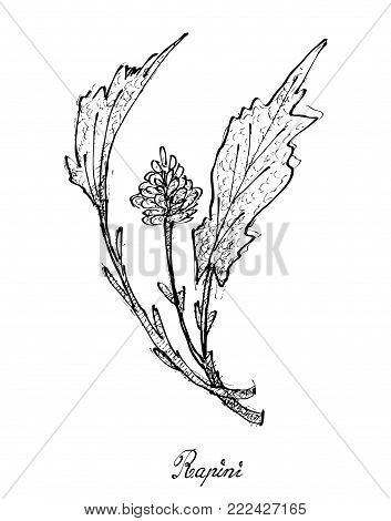 Vegetable Salad, Illustration of Hand Drawn Sketch Delicious Fresh Green Rapini Plant Isolated on White Background.
