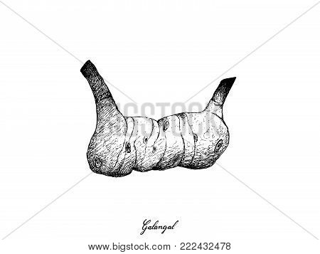 Root and Tuberous Vegetables, Illustration Hand Drawn Sketch of Fresh Galangal or Blue Ginger Used for Seasoning in Cooking Isolated on White Background.