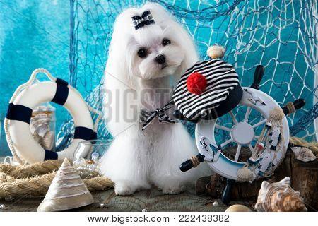 Maltese lapdog on the background of marine scenery, helm, net, boat