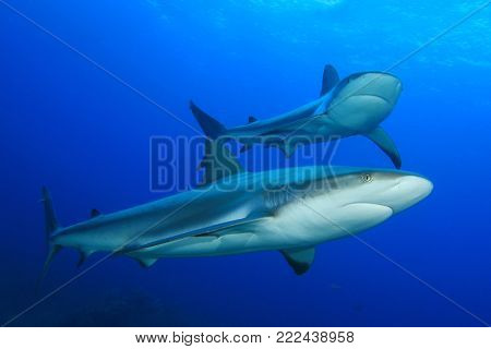 Caribbean Reef Sharks
