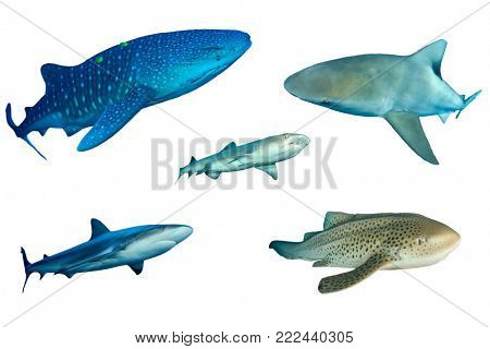 Shark species isolated on white. Whale Shark, Bull, Whitetip Reef, Grey Reef and Leopard Sharks