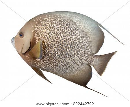Grey Angelfish fish isolated on white background