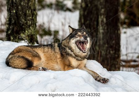 Grey wolf, Canis lupus, lying down and yawning, in a snowy winter forest. Also known as timber wolf or timberwolf.