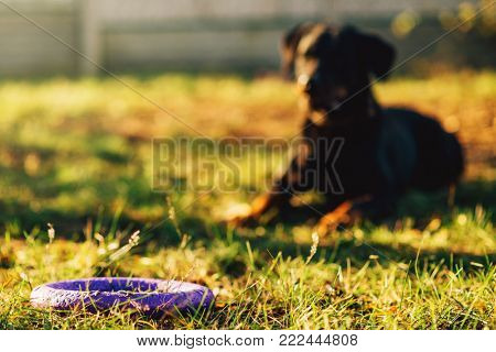 Trained watch dog behind a toy on playground