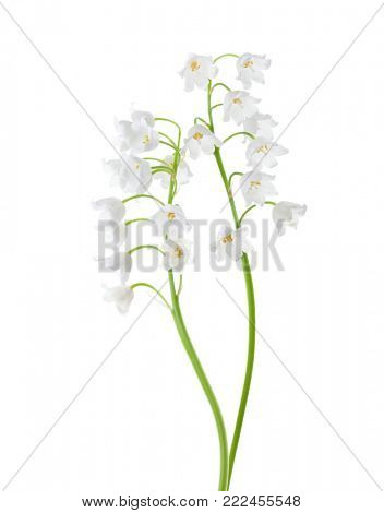 Two flowers isolated on white. Lily of the Valley