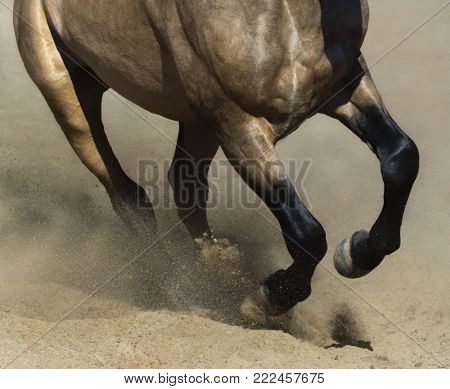 Black legs of running dun Andalusian horse close up in sand dust.