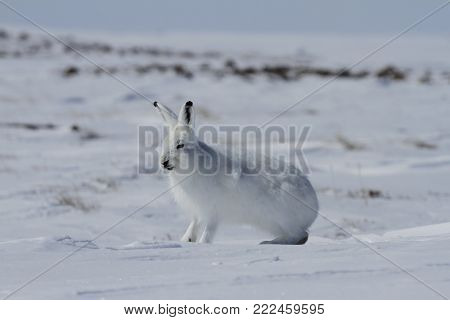 Arctic hare (Lepus arcticus) getting ready to jump while sitting on snow and shedding its winter coat, Nunavut Canada