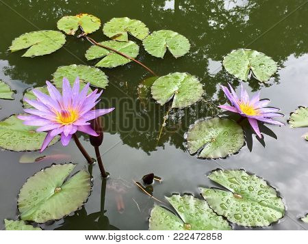 Purple nymphaea nouchali otherwise known as blue lotus or blue water lily in a pond