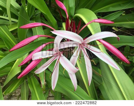 Giant spider lily otherwise known as crinum amabile from the amaryllidaceae family