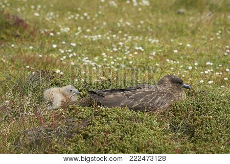 Adult Falkland Skua (Catharacta antarctica) with chick in a meadow on Bleaker Island in the Falkland Islands.
