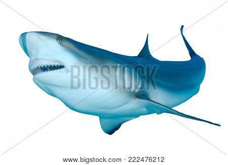 Shark attack. Caribbean Reef Shark bite isolated on white background