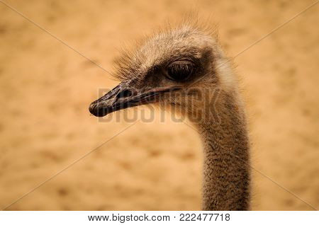 Portrait of a Haughty Ostrich at the Zoo