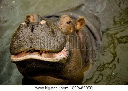 A large Behemoth. Hippopotamus with open mouth in water.