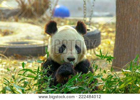 Giant Panda China. Panda eats bamboo.