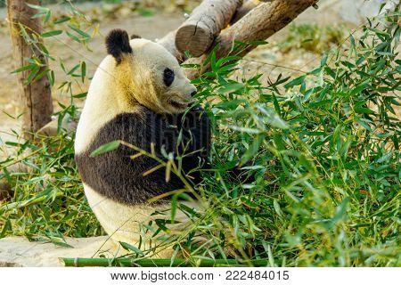Giant Panda China. Panda eats bamboo.