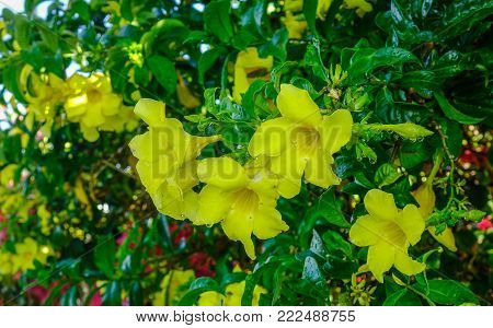 Allamanda Cathartica Yellow Flowers