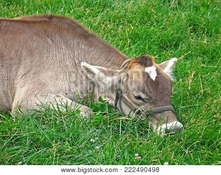 A jersey calf takes a nap in a green pasture on a farm in rural Michigan.
