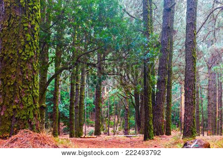 Mossy trunks of pine trees in foggy forest - Landscape