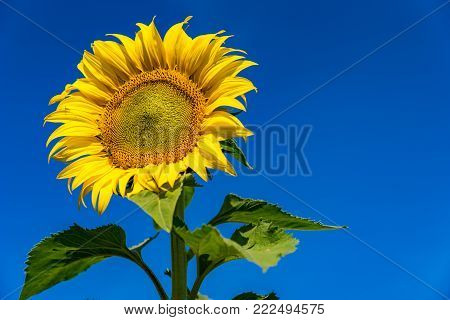 Sunflowers in acres of northern Thailand. Sunflower amidst beautiful flowers. Sunflower on a sunny day