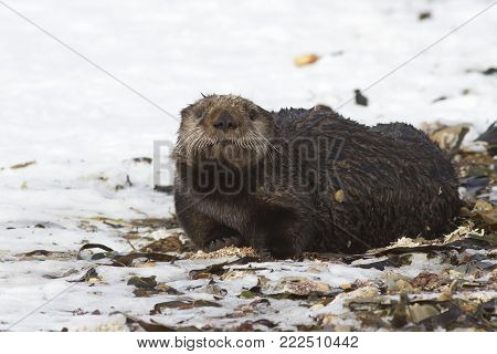 Sea otter which lies on the beach in the sand on a winter day
