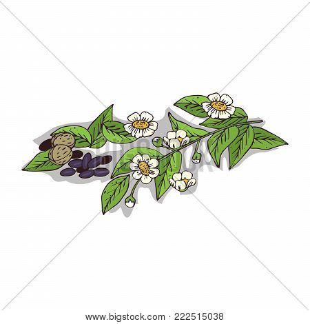 Isolated clipart of plant Camellia on white background. Botanical drawing of herb Camellia oleifera with flowers and leaves, seeds