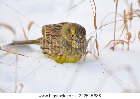 Yellowhammer, Emberiza citrinella, little bird on snow. Bird eating grass seeds. Beautiful bird searches for food in the cold winter days