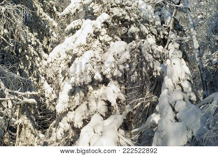 background - interlacing of coniferous branches in a winter forest covered with a thick layer of snow, on a sunny day
