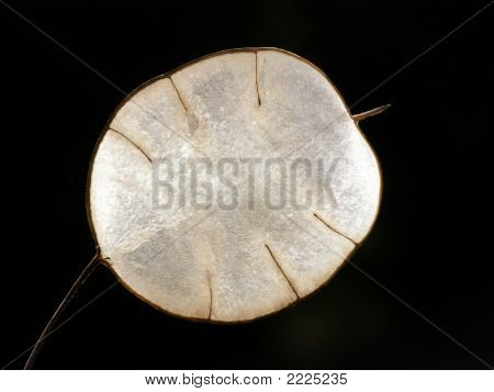 Transparent Lunaria Seed