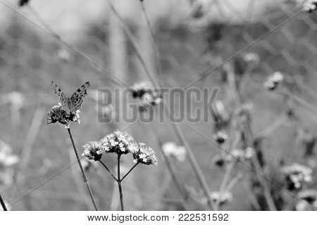 Comma Butterfly Sits On Verbena Flowers