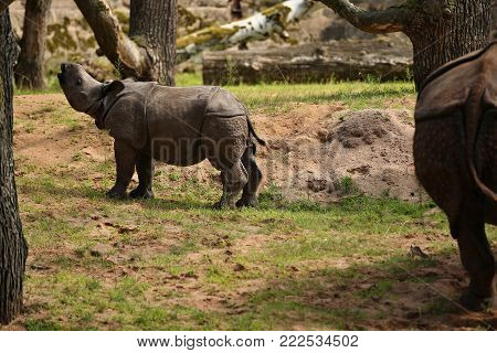 Indian rhinoceros in the beautiful nature looking habitat. One horned rhino. Endangered species. The biggest kind of rhinoceros on the earth.